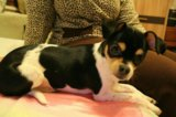 Чихуахуа девочка щенок. Фото 1.