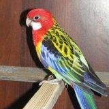 Попугай розелла, отличный подарок. Фото 2.