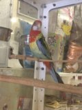 Попугай розелла, отличный подарок. Фото 1.