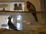 Попугай розелла, отличный подарок. Фото 3.