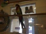 Попугай розелла, отличный подарок. Фото 4.