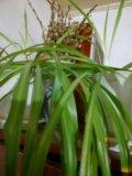 Хлорофиттум цветы. Фото 1.