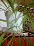 Хлорофиттум цветы. Фото 2.