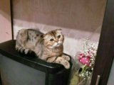 Кот на вязку. Фото 1.