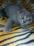 Кошечка британская. Фото 1.