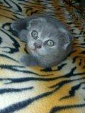 Кошечка британская. Фото 2.