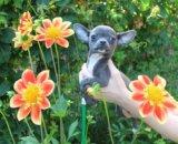 Красивая стандартная голубая чихуахуа девочка. Фото 1.
