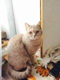 Отдам бесплатно шотландскую кошечку. Фото 1.