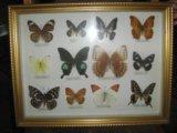 Коллекция 12 редких бабочек. Фото 1.