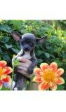 Красивая стандартная голубая чихуахуа девочка. Фото 4.