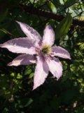 Клематис hegley hibrid. Фото 1.