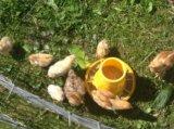 Цыплята разных пород и кроссы. Фото 3.