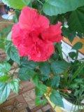 Китайская роза. Фото 2.