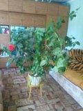 Китайская роза. Фото 3.