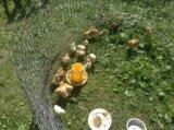 Цыплята разных пород и кроссы. Фото 2.