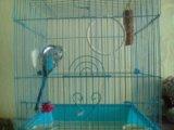 Папугай волнистый. Фото 1.