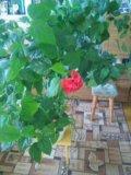Китайская роза. Фото 4.