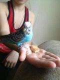 Папугай волнистый. Фото 3.