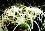 Панкрациум, нильская лилия. Фото 1.