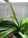 Панкрациум, нильская лилия. Фото 2.