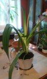 Цветок гипеастриум. Фото 2.