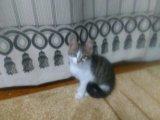 Помесь британки котенок-девочка. Фото 1.