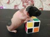 Чудесный малыш скинни.морская свинка. Фото 2.