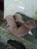 Шотландские котята. Фото 2.