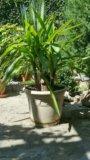 Вечнозеленная пальма юкка. Фото 1.