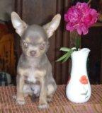 Щенки чихуахуа. Фото 3.