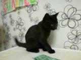 Котенок британский. Фото 1.