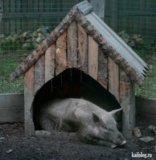 Свиньи. Фото 1.