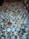 Инкубационное яйцо перепелов. Фото 1.