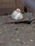 Мускусная утка. Фото 3.