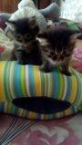Котята курильского бобтейла. Фото 1.