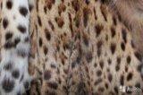 Шикарная шуба с камышового кота. Фото 2.