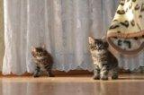 Котята курильского бобтейла. Фото 3.