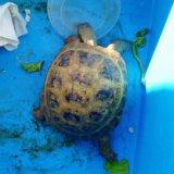 Сухопутная черепаха ручная. Фото 1.