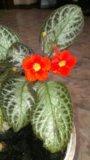 Комнатное растение эписция. Фото 2.