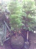 Хвойные вечнозеленые растения с доставкой. Фото 1.