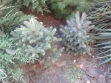 Хвойные вечнозеленые растения с доставкой. Фото 4.