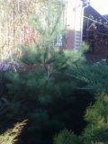 Хвойные вечнозеленые растения с доставкой. Фото 3.