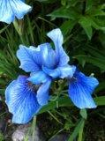 Ирис голубой (сибирский). Фото 1.