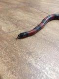 Королевская змея. Фото 2.