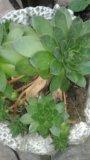 Детки цветущего кактусы. Фото 3.