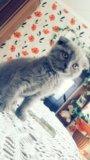 Чистокровная шотландская кошечка. Фото 3.