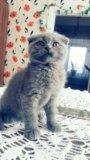 Чистокровная шотландская кошечка. Фото 2.