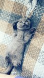 Чистокровная шотландская кошечка. Фото 1.