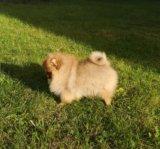 Продается щенок малого немецкого шпица. Фото 3.