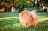 Продается щенок малого немецкого шпица. Фото 4.